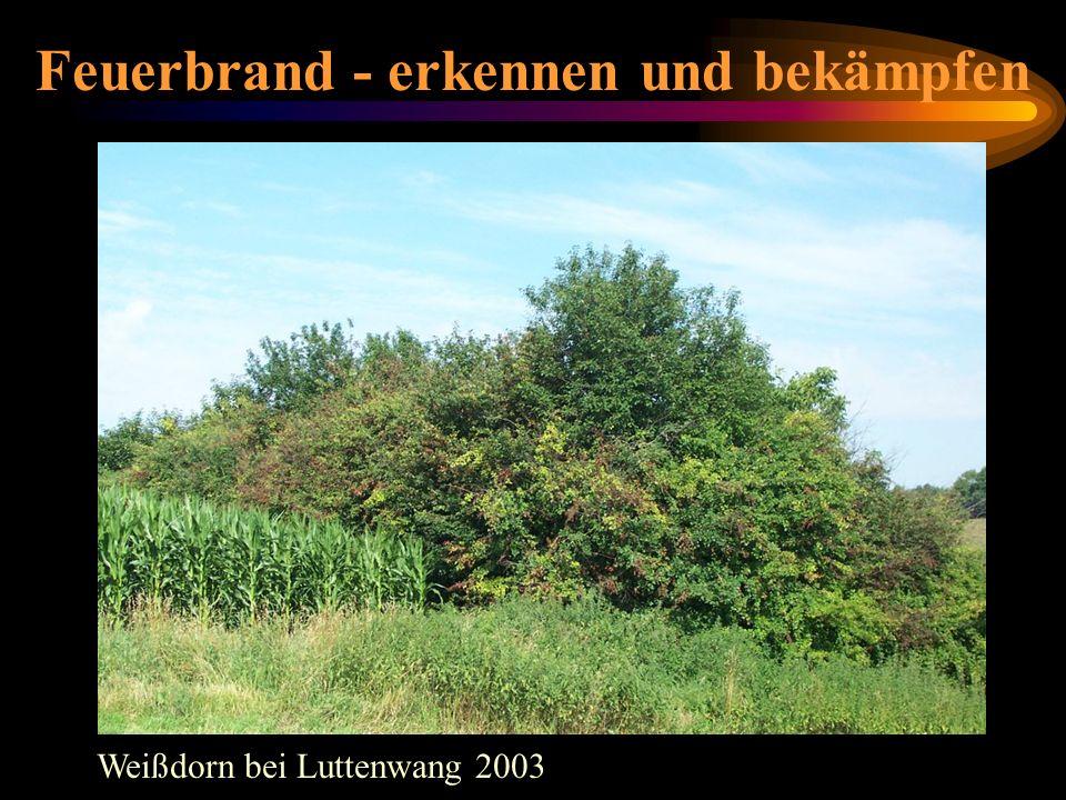 Feuerbrand - erkennen und bekämpfen Weißdorn bei Luttenwang 2003 Weißdornhecke