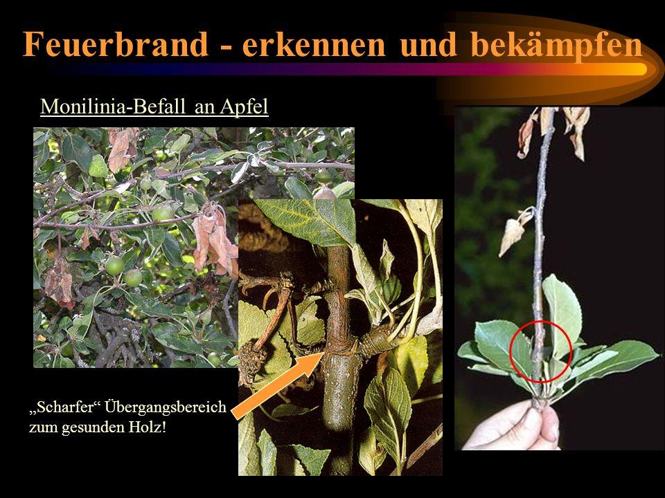 Feuerbrand - erkennen und bekämpfen Monilinia-Befall an Apfel Scharfer Übergangsbereich zum gesunden Holz! Monilinia