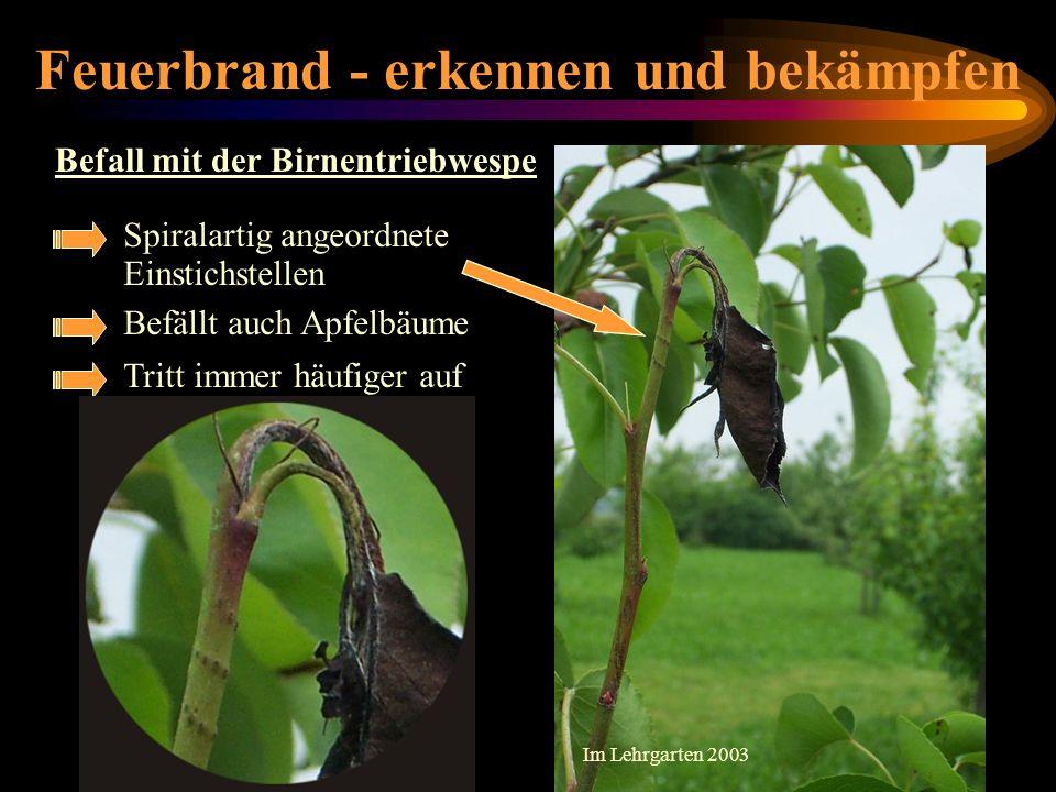 Feuerbrand - erkennen und bekämpfen Befall mit der Birnentriebwespe Spiralartig angeordnete Einstichstellen Befällt auch Apfelbäume Tritt immer häufig