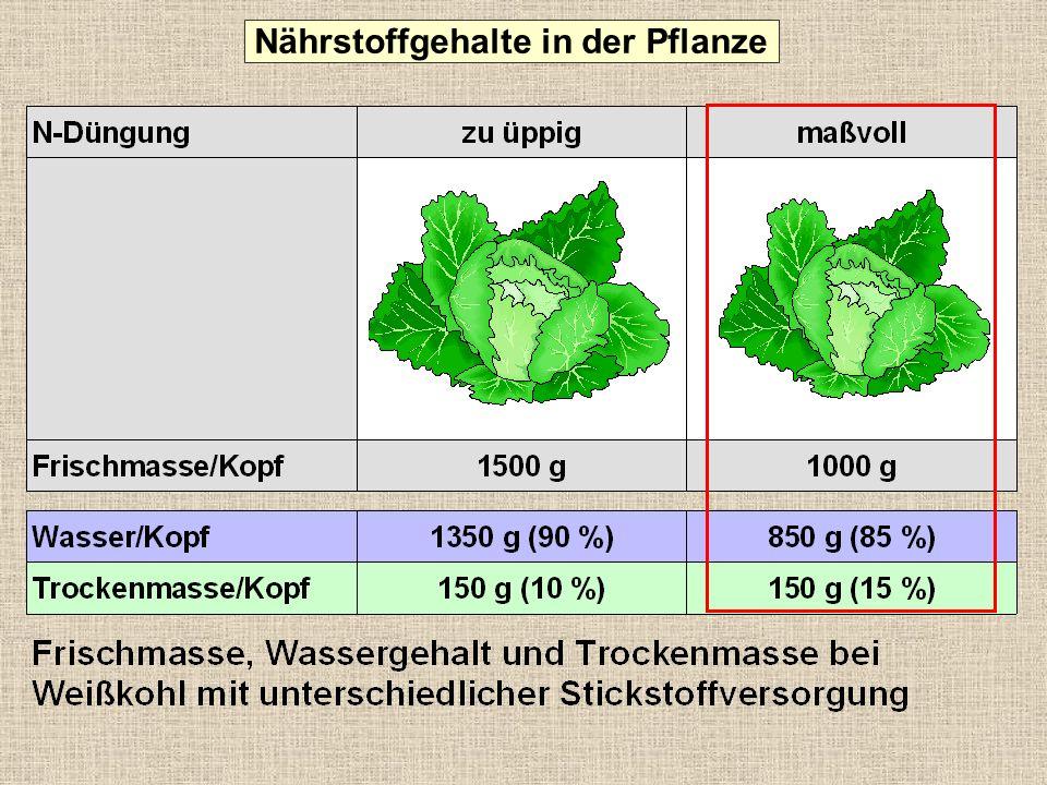 0 1 2 3 4 5 6 7 8 Vitamin C (mg/100 g Frischmasse) Einfluss der Kopfgröße von Eissalat auf den Vitamin C-Gehalt mittleres Kopfgewicht 7,6 3,6 1,9 470 g 640 g 840 g Nährstoffgehalte in der Pflanze 36 23 16 0 5 10 15 20 25 30 35 40 Vitamin C (mg/Eissalat-Kopf) 470 g 640 g 840 g mittleres Kopfgewicht