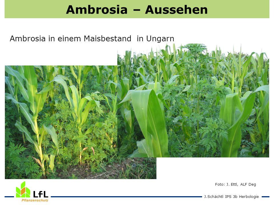 J.Schächtl IPS 3b Herbologie Ambrosia – Aussehen Foto: J. Ettl, ALF Deg Ambrosia in einem Maisbestand in Ungarn