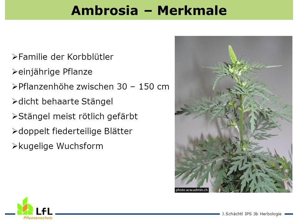 J.Schächtl IPS 3b Herbologie Ambrosia – Merkmale Familie der Korbblütler einjährige Pflanze Pflanzenhöhe zwischen 30 – 150 cm dicht behaarte Stängel S