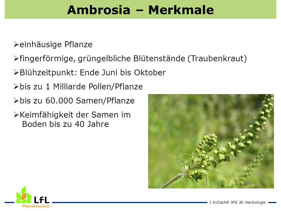 J.Schächtl IPS 3b Herbologie Ambrosia – Merkmale einhäusige Pflanze fingerförmige, grüngelbliche Blütenstände (Traubenkraut) Blühzeitpunkt: Ende Juni