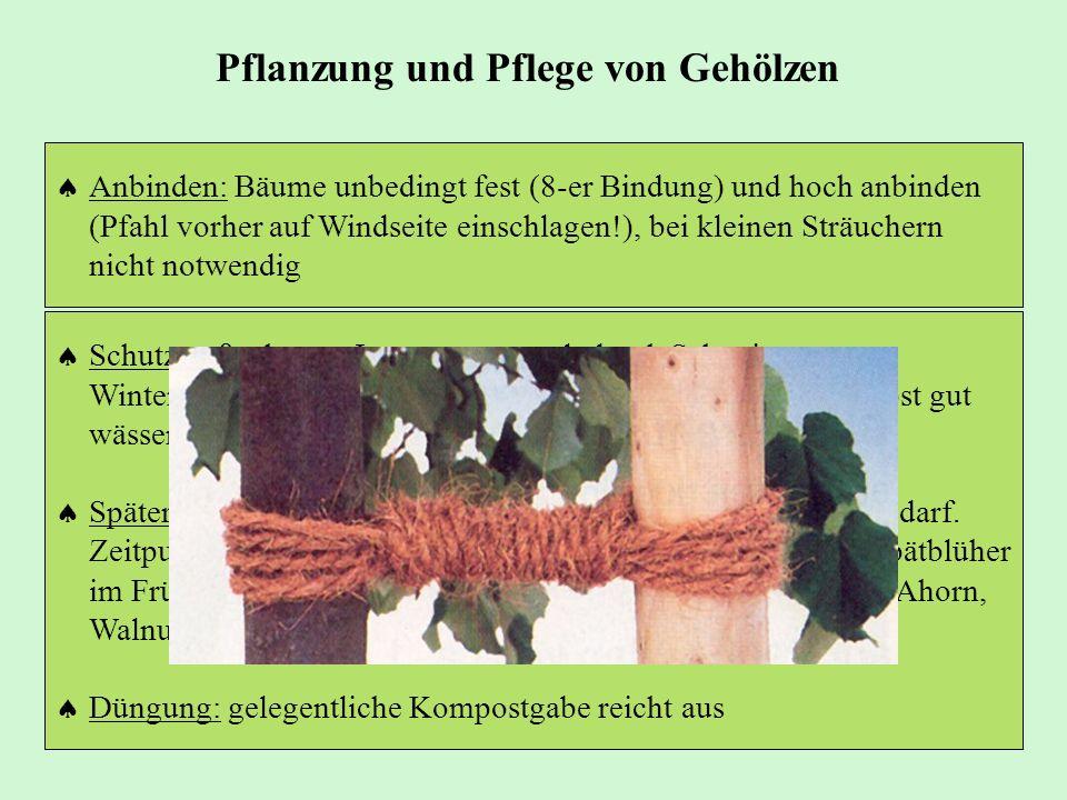 Schutzmaßnahmen: Immergrüne evtl. durch Schattierung vor Winteraustrocknung schützen. Auch später in trockenem Herbst gut wässern! Späterer Schnitt: V