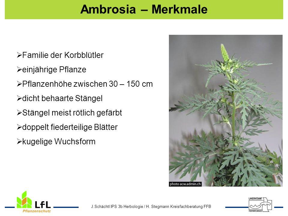 J.Schächtl IPS 3b Herbologie / H. Stegmann Kreisfachberatung FFB Ambrosia – Merkmale Familie der Korbblütler einjährige Pflanze Pflanzenhöhe zwischen