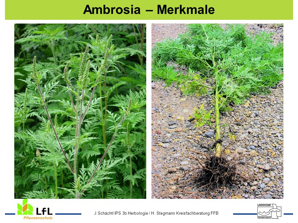 J.Schächtl IPS 3b Herbologie / H. Stegmann Kreisfachberatung FFB Ambrosia – Merkmale