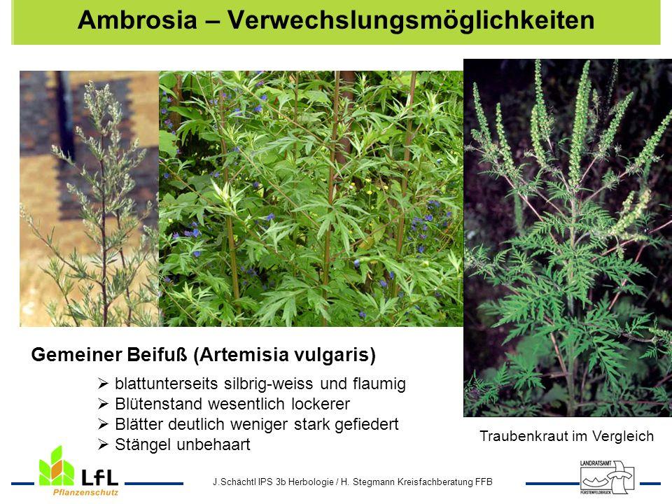 J.Schächtl IPS 3b Herbologie / H. Stegmann Kreisfachberatung FFB Ambrosia – Verwechslungsmöglichkeiten Gemeiner Beifuß (Artemisia vulgaris) blattunter