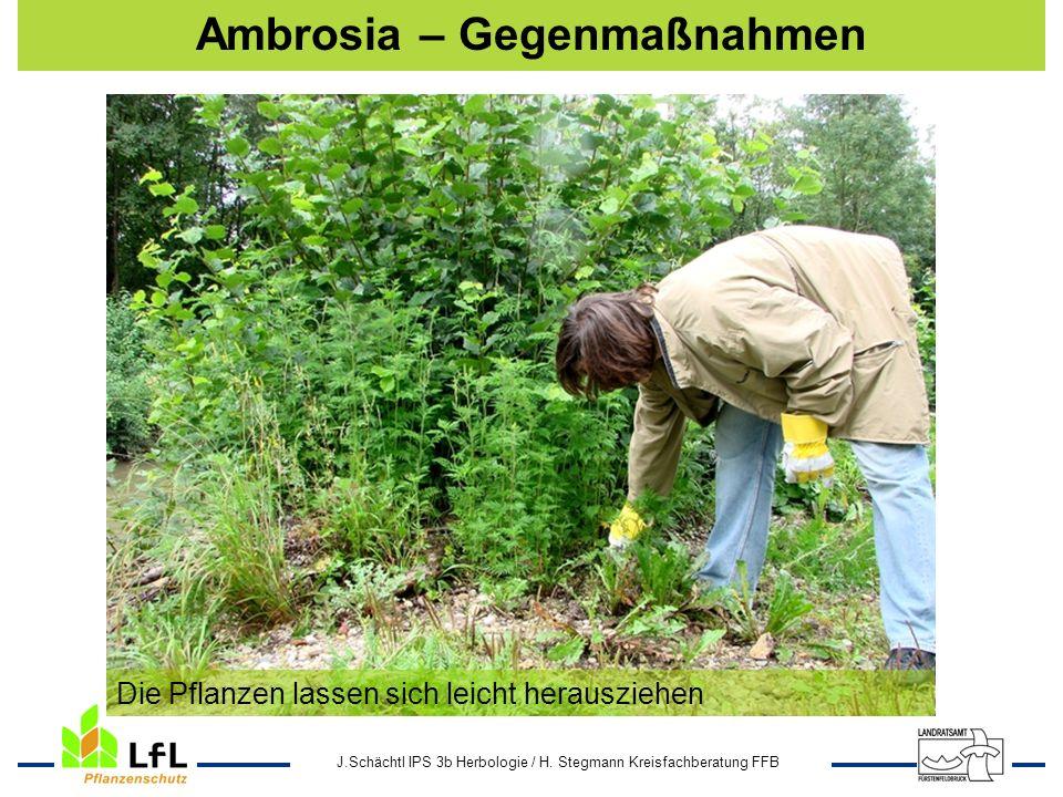J.Schächtl IPS 3b Herbologie / H. Stegmann Kreisfachberatung FFB Ambrosia – Gegenmaßnahmen Die Pflanzen lassen sich leicht herausziehen