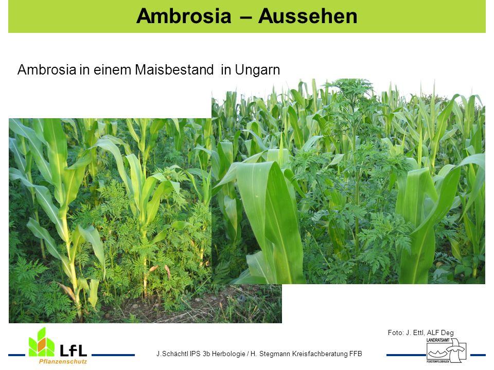 J.Schächtl IPS 3b Herbologie / H. Stegmann Kreisfachberatung FFB Ambrosia – Aussehen Foto: J. Ettl, ALF Deg Ambrosia in einem Maisbestand in Ungarn
