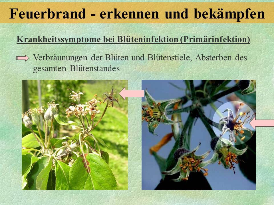 Krankheitssymptome bei Blüteninfektion (Primärinfektion) Verbräunungen der Blüten und Blütenstiele, Absterben des gesamten Blütenstandes Feuerbrand -