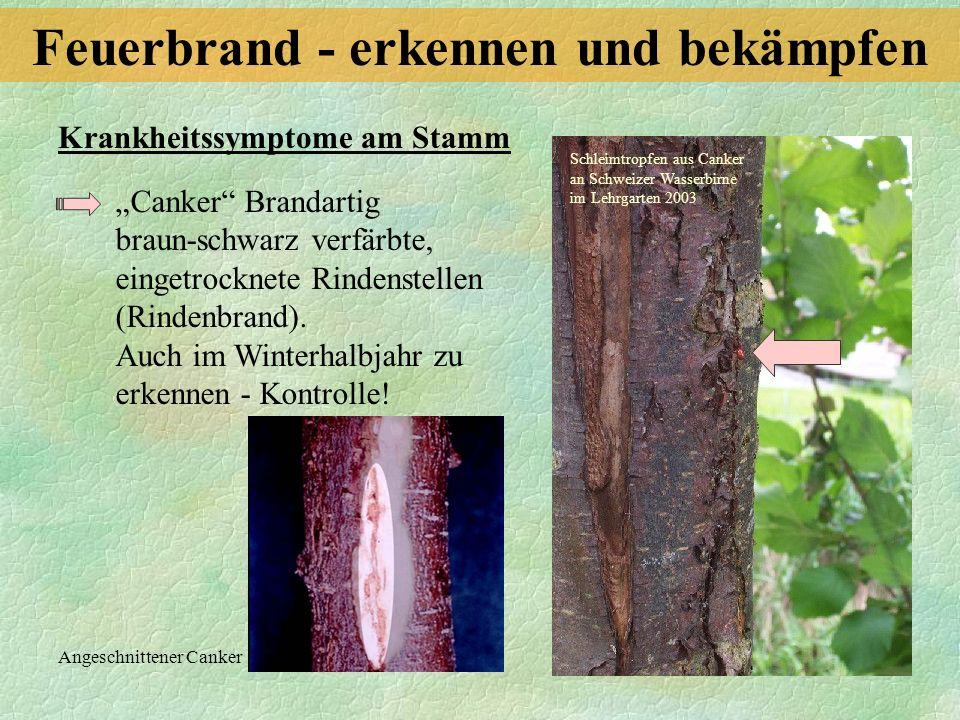 Canker Brandartig braun-schwarz verfärbte, eingetrocknete Rindenstellen (Rindenbrand). Auch im Winterhalbjahr zu erkennen - Kontrolle! Krankheitssympt