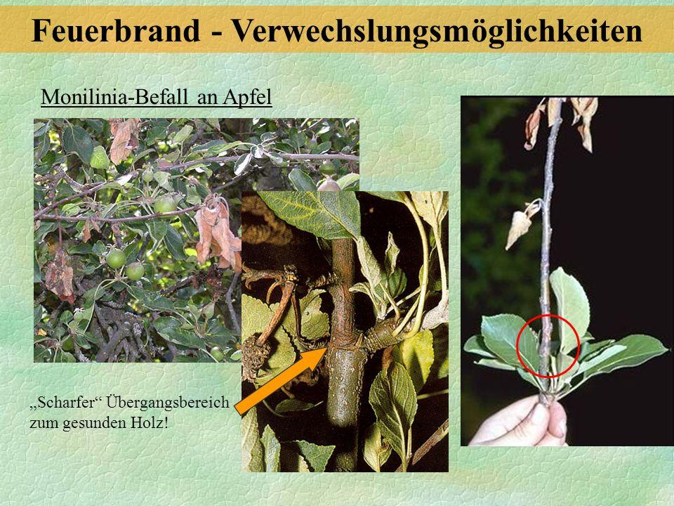 Monilinia-Befall an Apfel Scharfer Übergangsbereich zum gesunden Holz! Feuerbrand - Verwechslungsmöglichkeiten