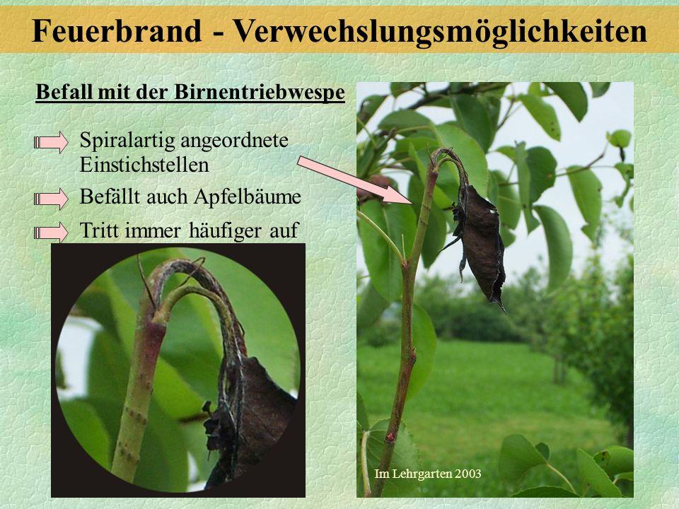 Befall mit der Birnentriebwespe Spiralartig angeordnete Einstichstellen Befällt auch Apfelbäume Tritt immer häufiger auf Im Lehrgarten 2003 Feuerbrand