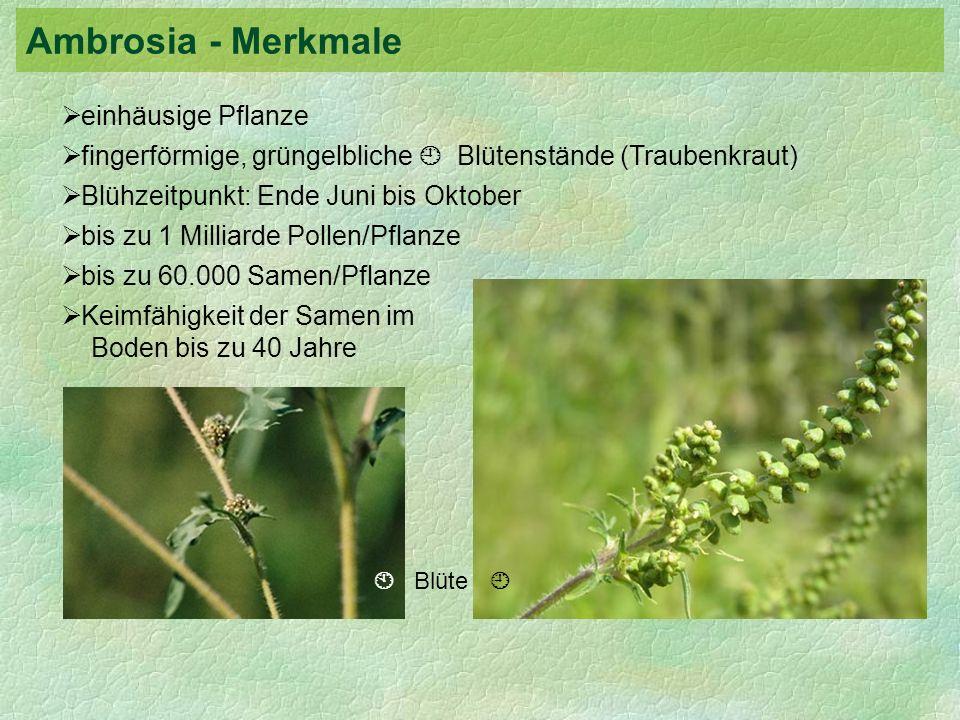 einhäusige Pflanze fingerförmige, grüngelbliche Blütenstände (Traubenkraut) Blühzeitpunkt: Ende Juni bis Oktober bis zu 1 Milliarde Pollen/Pflanze bis