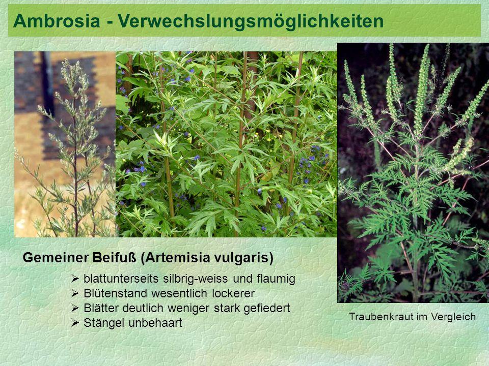 Gemeiner Beifuß (Artemisia vulgaris) blattunterseits silbrig-weiss und flaumig Blütenstand wesentlich lockerer Blätter deutlich weniger stark gefieder