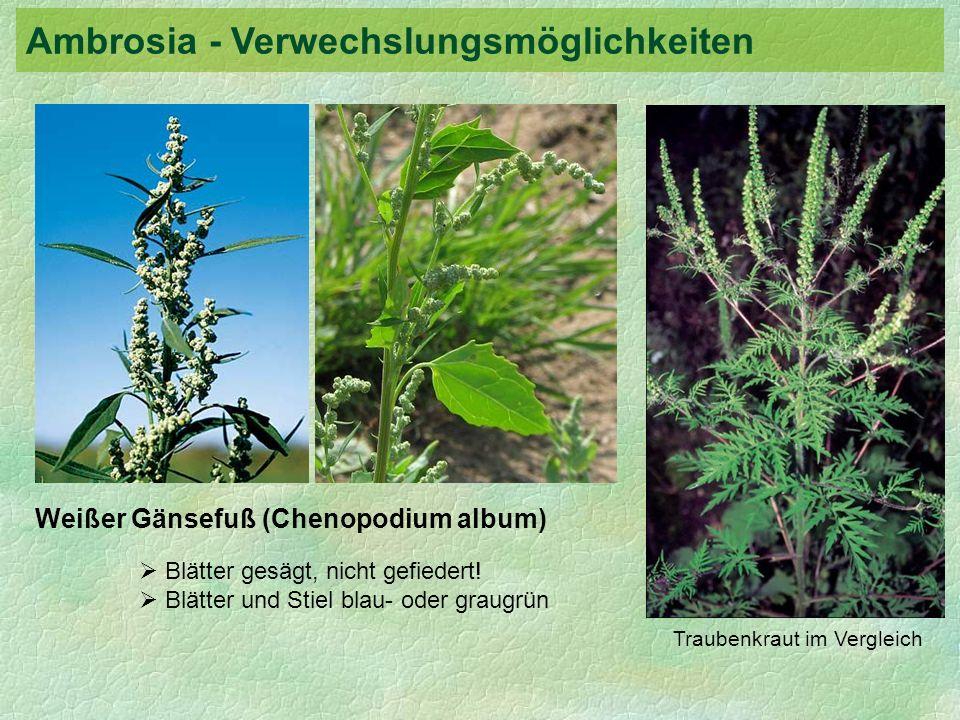 Weißer Gänsefuß (Chenopodium album) Blätter gesägt, nicht gefiedert! Blätter und Stiel blau- oder graugrün Traubenkraut im Vergleich Ambrosia - Verwec