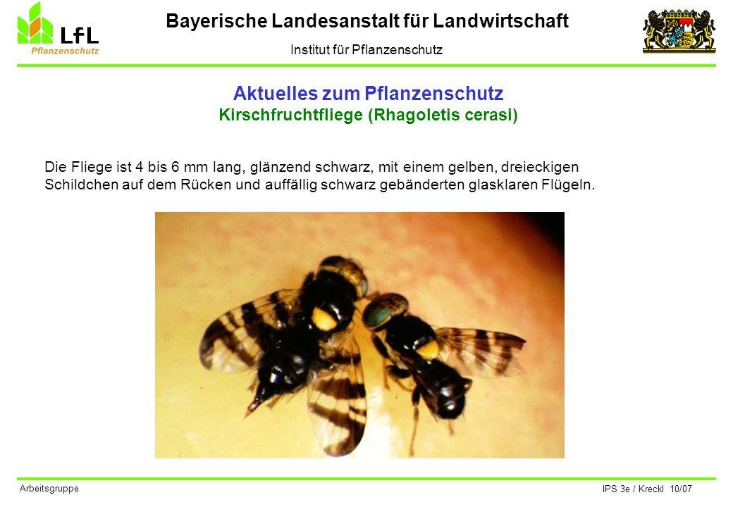 Bayerische Landesanstalt für Landwirtschaft Institut für Pflanzenschutz IPS 3e / Kreckl 10/07 Arbeitsgruppe Aktuelles zum Pflanzenschutz Kirschfruchtf