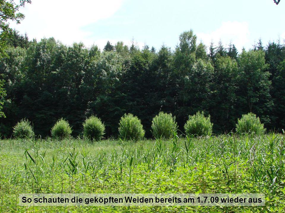 So schauten die geköpften Weiden bereits am 1.7.09 wieder aus