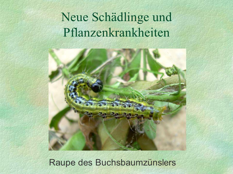 Neue Schädlinge und Pflanzenkrankheiten Raupe des Buchsbaumzünslers