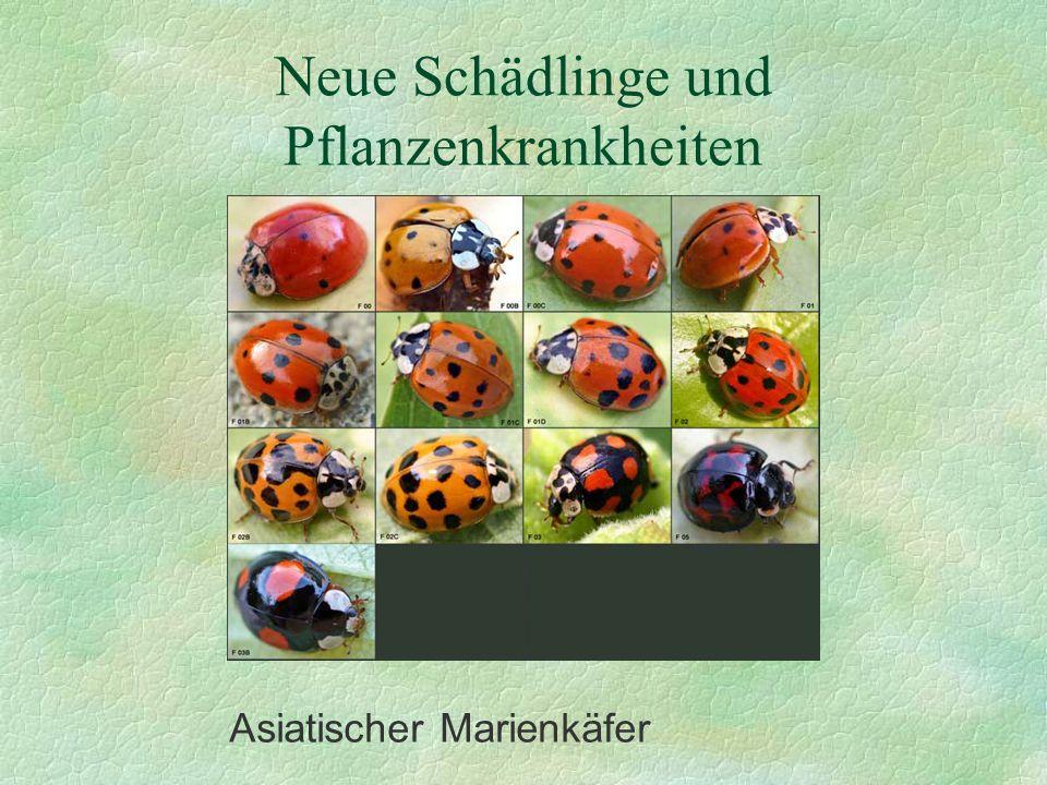 Neue Schädlinge und Pflanzenkrankheiten Asiatischer Marienkäfer