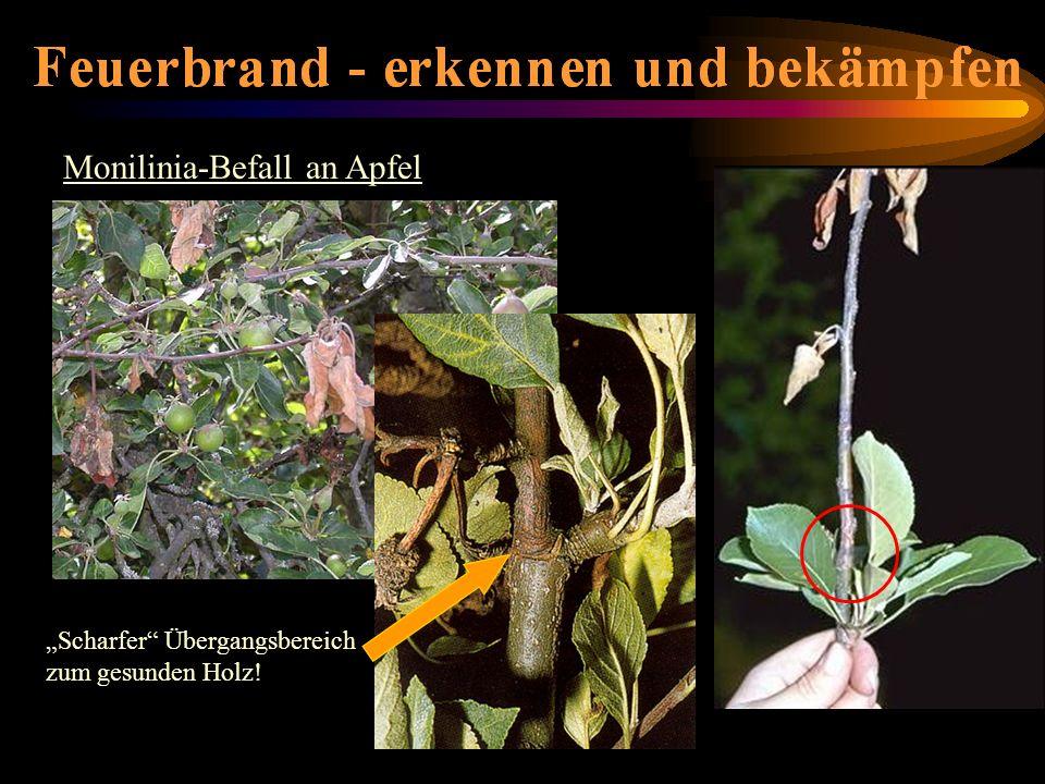 Monilinia-Befall an Apfel Scharfer Übergangsbereich zum gesunden Holz!