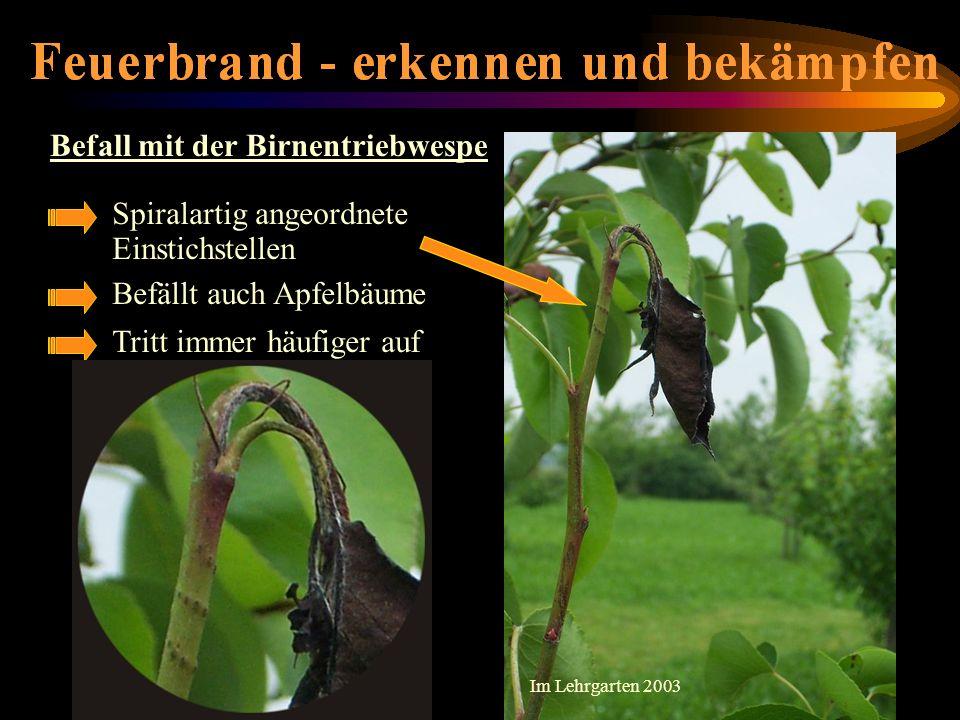 Befall mit der Birnentriebwespe Spiralartig angeordnete Einstichstellen Befällt auch Apfelbäume Tritt immer häufiger auf Im Lehrgarten 2003