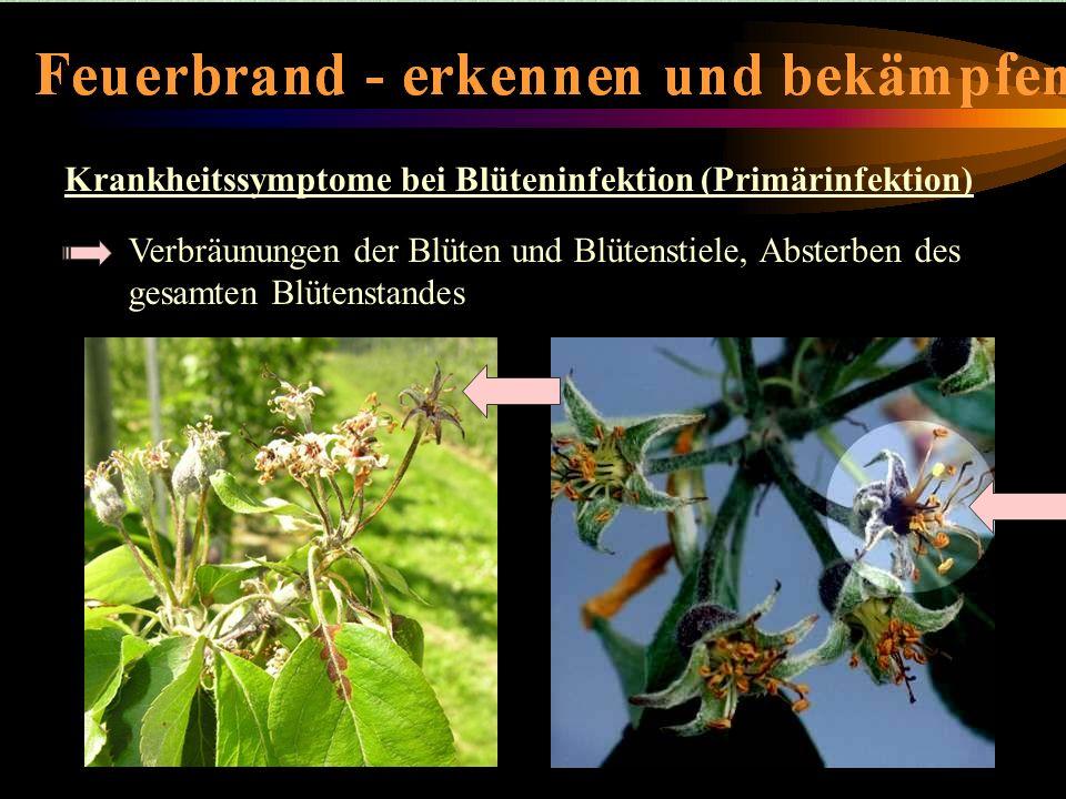 Krankheitssymptome bei Blüteninfektion (Primärinfektion) Krankheitssymptome-Blüteninfektion Verbräunungen der Blüten und Blütenstiele, Absterben des g