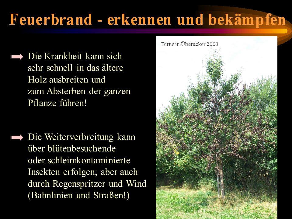Die Krankheit kann sich sehr schnell in das ältere Holz ausbreiten und zum Absterben der ganzen Pflanze führen! Birne in Überacker 2003 absterbende Bi