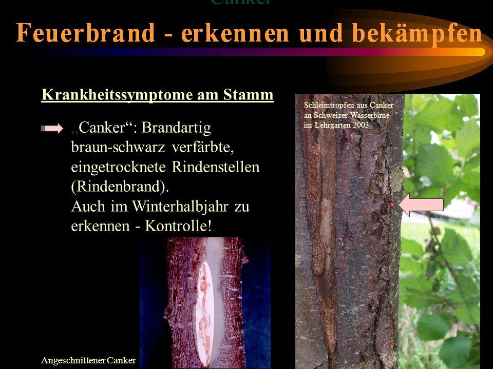 Canker: Brandartig braun-schwarz verfärbte, eingetrocknete Rindenstellen (Rindenbrand). Auch im Winterhalbjahr zu erkennen - Kontrolle! Krankheitssymp