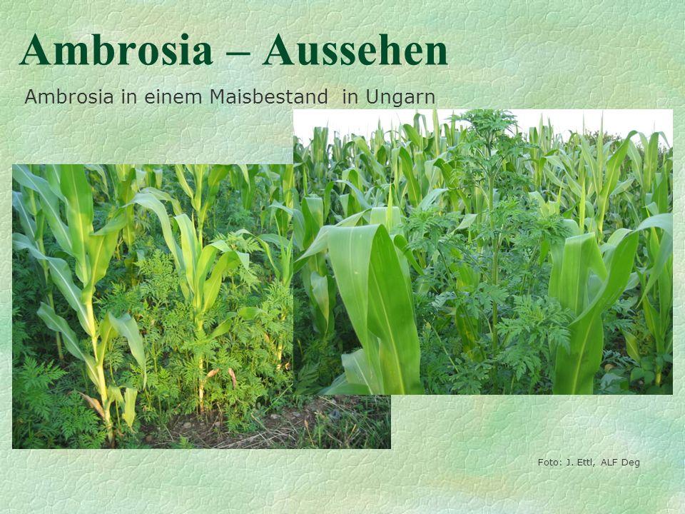 Ambrosia – Aussehen Foto: J. Ettl, ALF Deg Ambrosia in einem Maisbestand in Ungarn