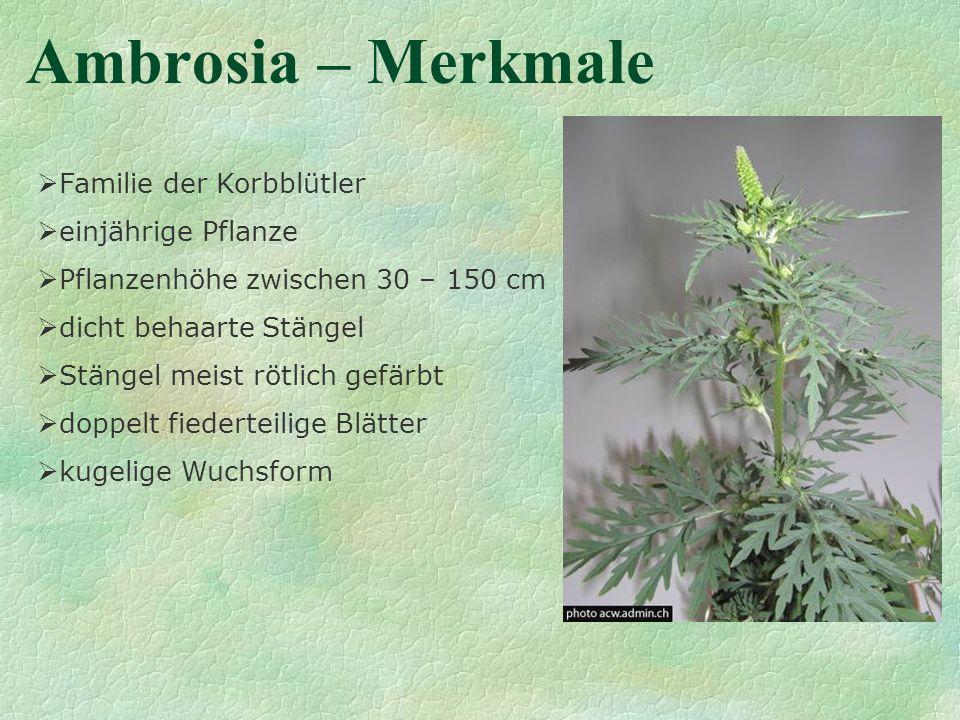 Ambrosia – Merkmale Familie der Korbblütler einjährige Pflanze Pflanzenhöhe zwischen 30 – 150 cm dicht behaarte Stängel Stängel meist rötlich gefärbt