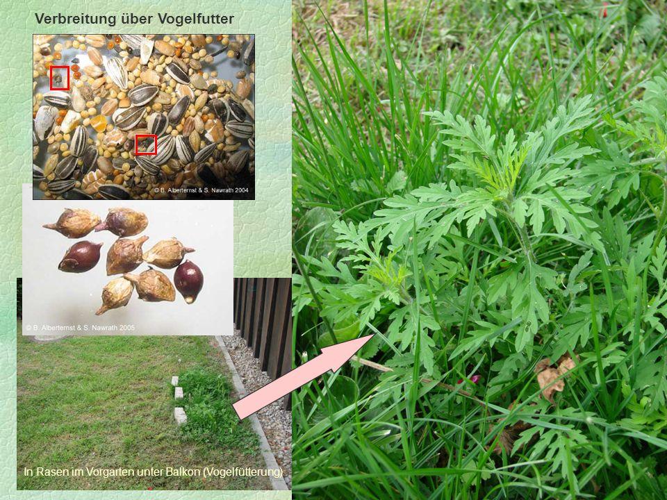 Ambrosiabestand an der Amper bei Esting Verbreitung über Vogelfutter In Rasen im Vorgarten unter Balkon (Vogelfütterung)