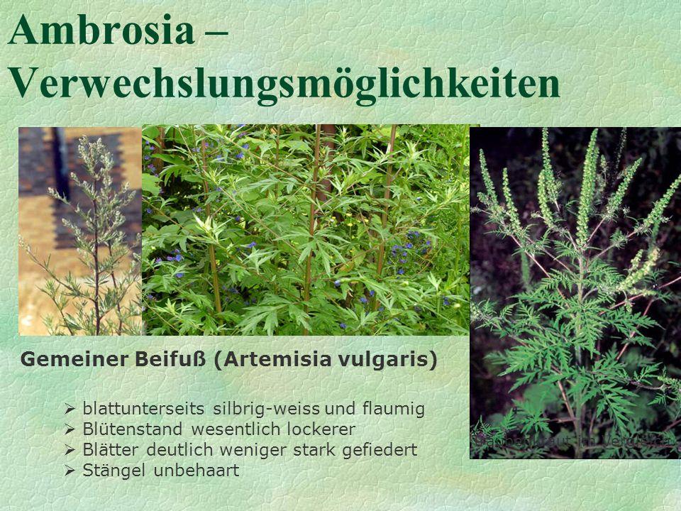 Ambrosia – Verwechslungsmöglichkeiten Gemeiner Beifuß (Artemisia vulgaris) blattunterseits silbrig-weiss und flaumig Blütenstand wesentlich lockerer B
