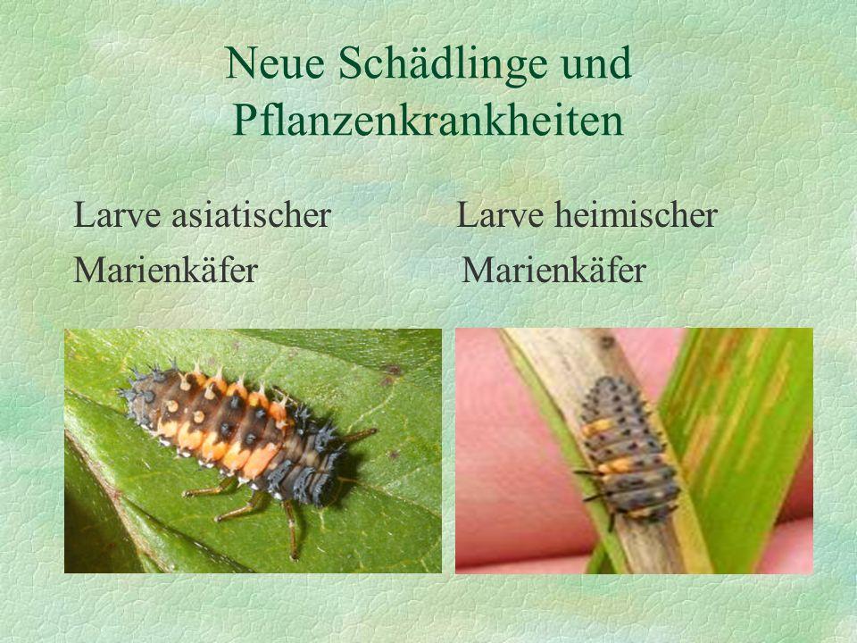 Neue Schädlinge und Pflanzenkrankheiten Larve asiatischer Larve heimischer Marienkäfer