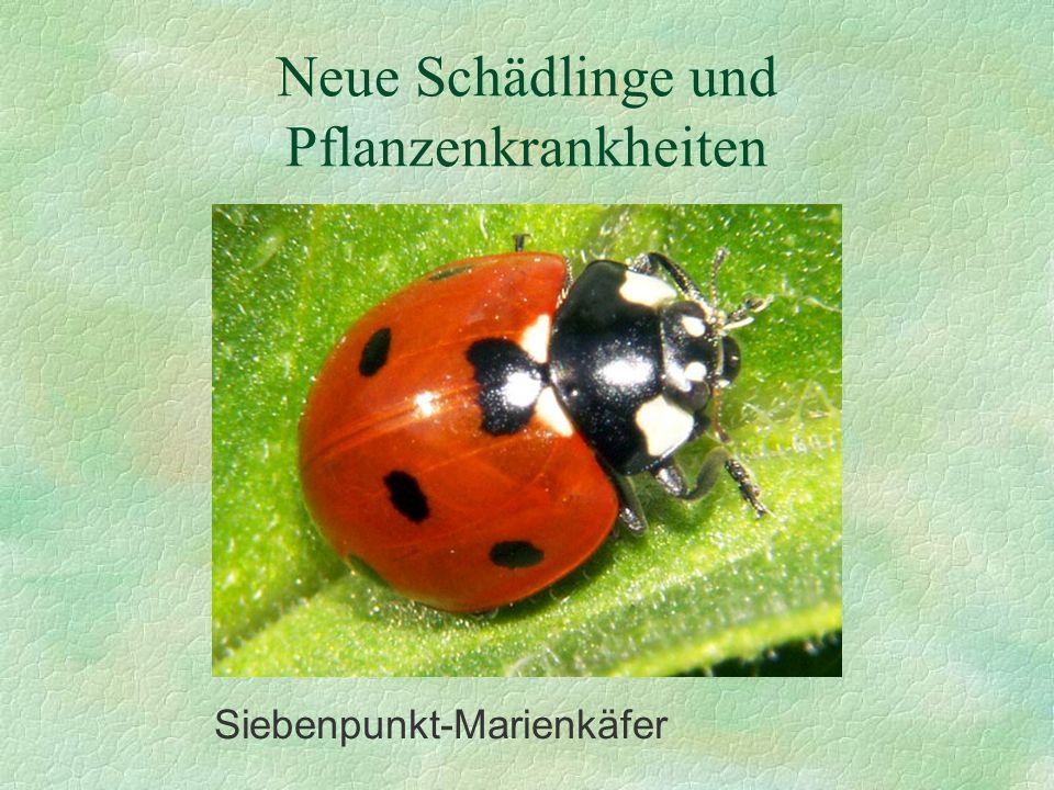 Neue Schädlinge und Pflanzenkrankheiten Siebenpunkt-Marienkäfer