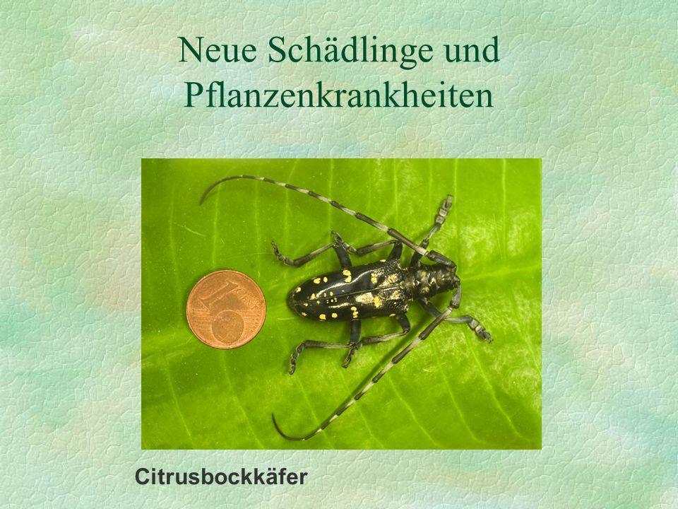 Neue Schädlinge und Pflanzenkrankheiten Citrusbockkäfer