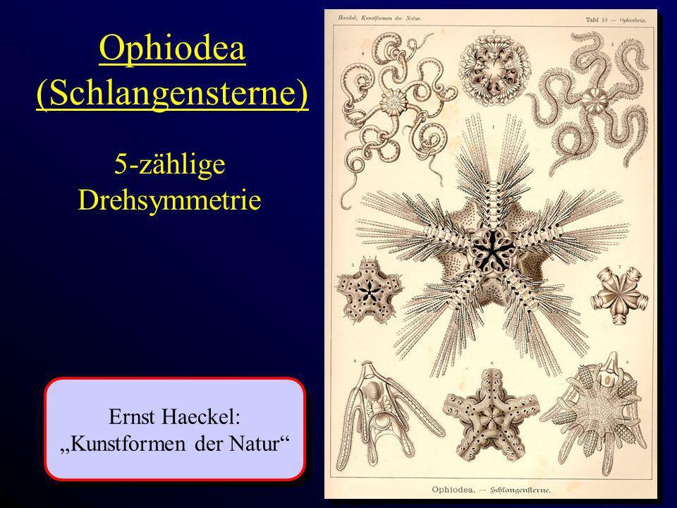 Ophiodea (Schlangensterne) Ernst Haeckel: Kunstformen der Natur Ernst Haeckel: Kunstformen der Natur 5-zählige Drehsymmetrie