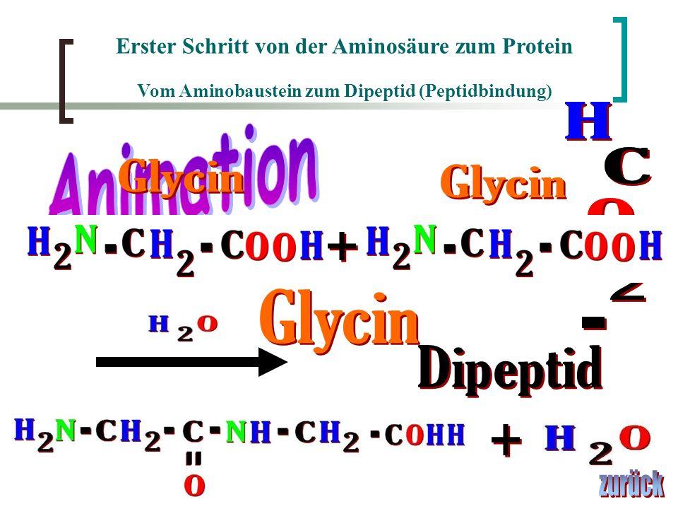 Erster Schritt von der Aminosäure zum Protein Vom Aminobaustein zum Dipeptid (Peptidbindung)