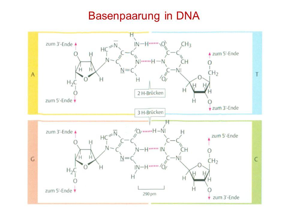 Basenpaarung in DNA