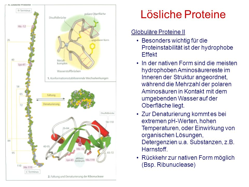Globuläre Proteine II Besonders wichtig für die Proteinstabilität ist der hydrophobe Effekt In der nativen Form sind die meisten hydrophoben Aminosäur