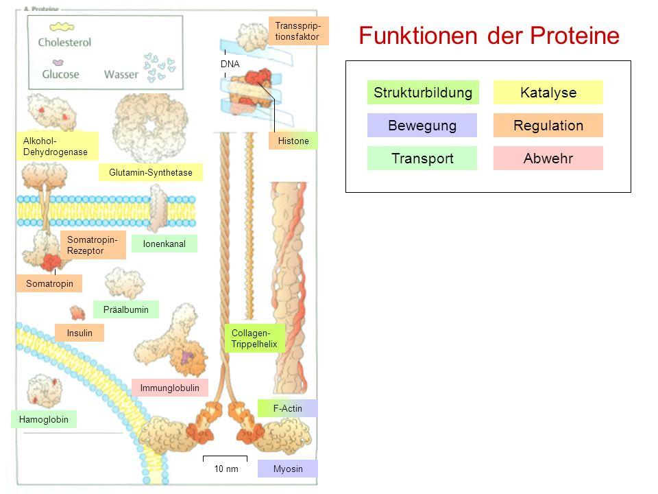Funktionen der Proteine Strukturbildung Bewegung Transport Katalyse Regulation Abwehr Alkohol- Dehydrogenase Glutamin-Synthetase Transsprip- tionsfakt