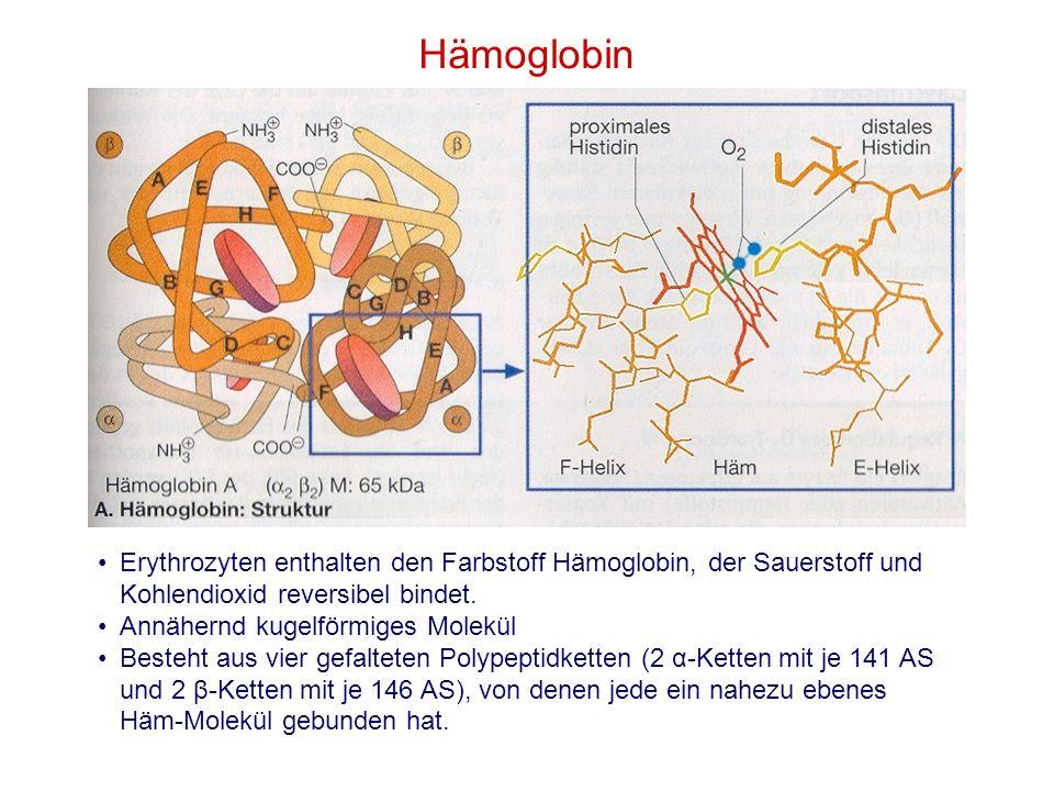 Hämoglobin Erythrozyten enthalten den Farbstoff Hämoglobin, der Sauerstoff und Kohlendioxid reversibel bindet. Annähernd kugelförmiges Molekül Besteht