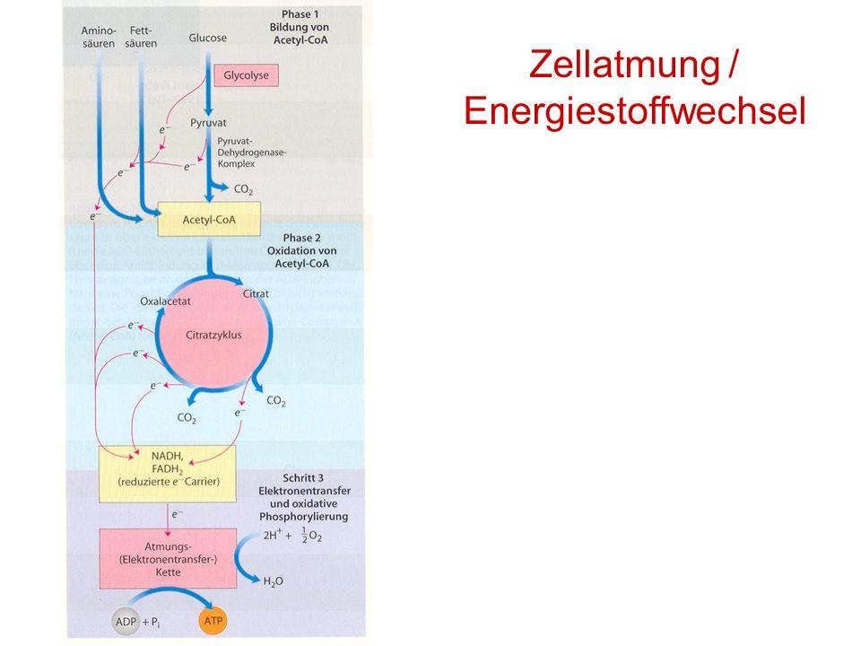 Zellatmung / Energiestoffwechsel