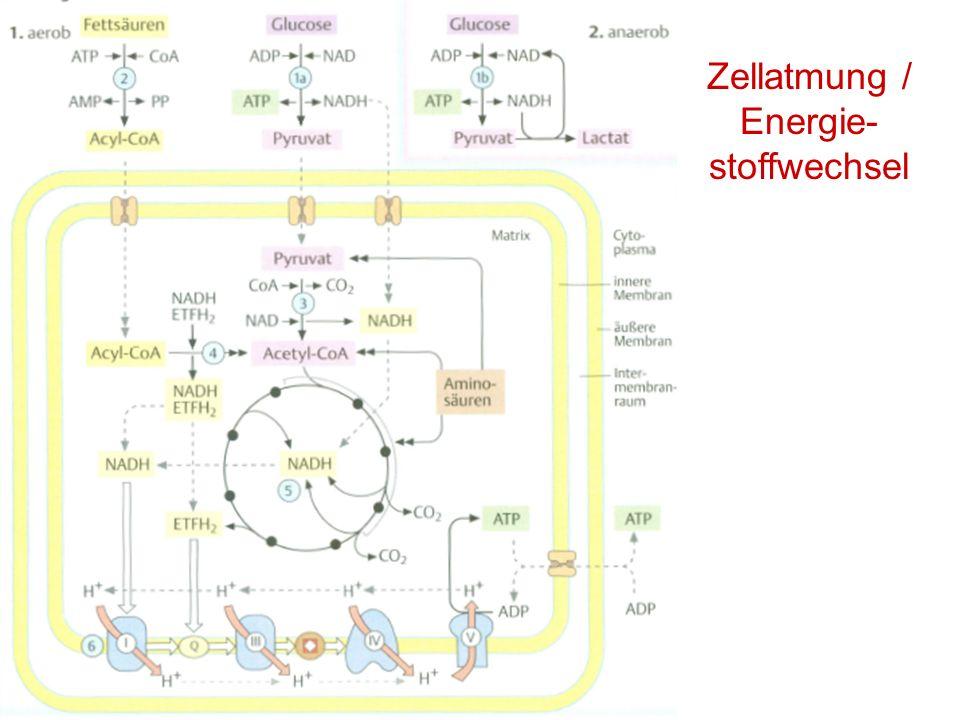 Zellatmung / Energie- stoffwechsel