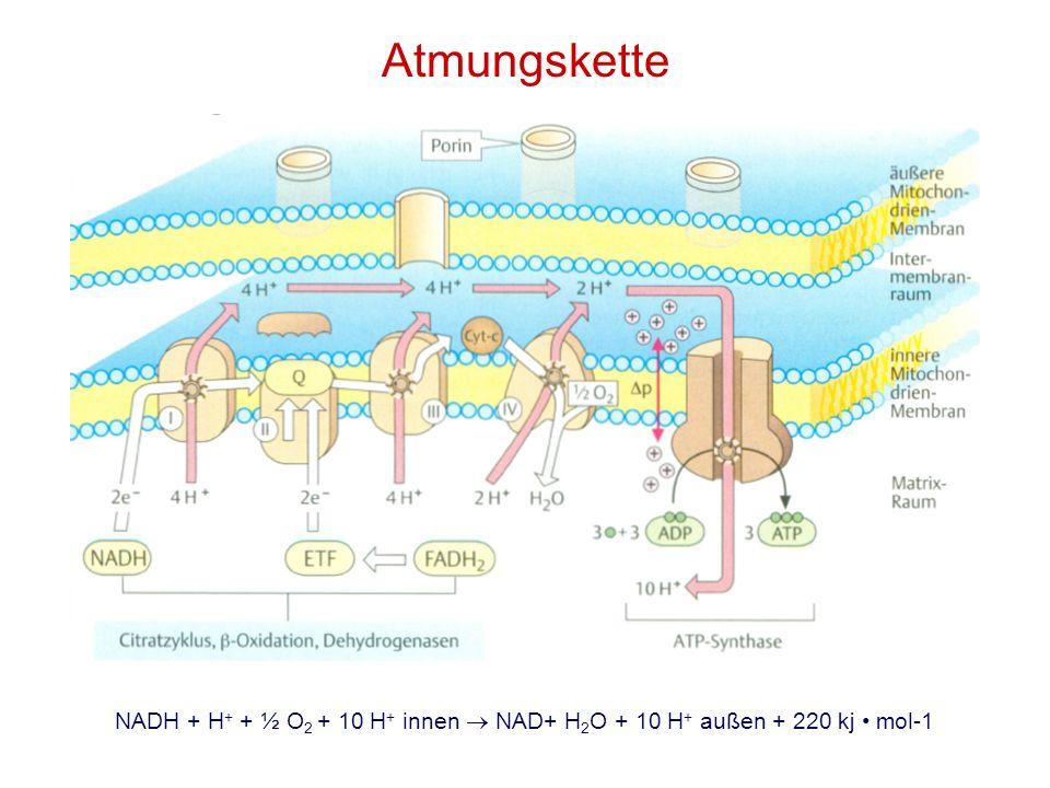 Atmungskette NADH + H + + ½ O 2 + 10 H + innen NAD+ H 2 O + 10 H + außen + 220 kj mol-1