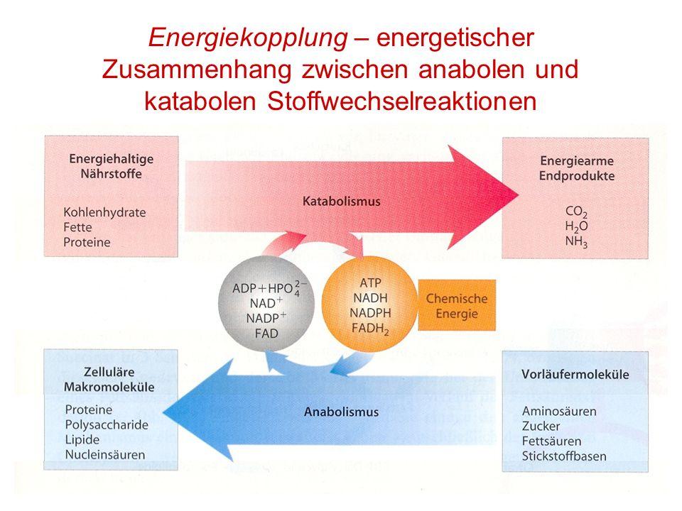 Energiekopplung – energetischer Zusammenhang zwischen anabolen und katabolen Stoffwechselreaktionen