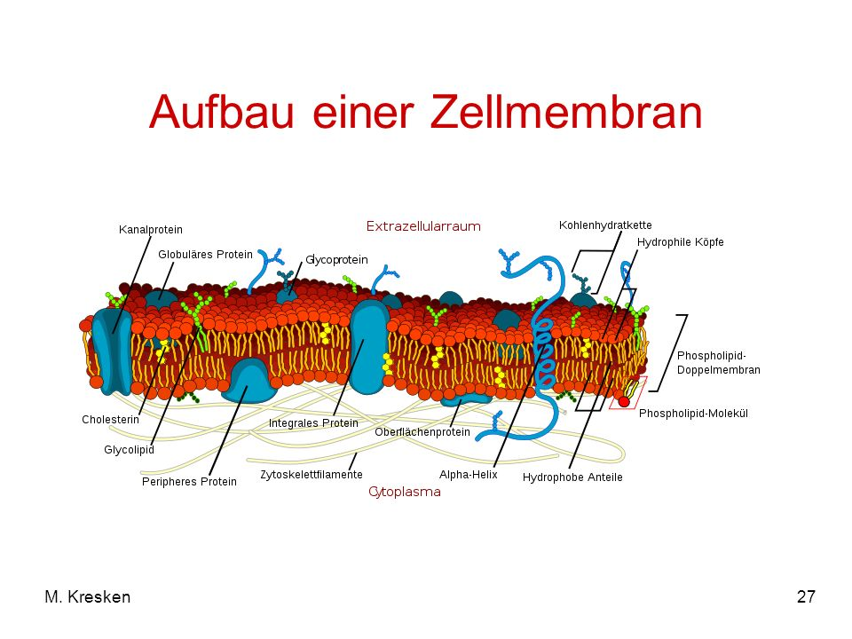 27 Aufbau einer Zellmembran M. Kresken