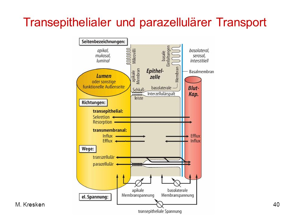 40M. Kresken Transepithelialer und parazellulärer Transport