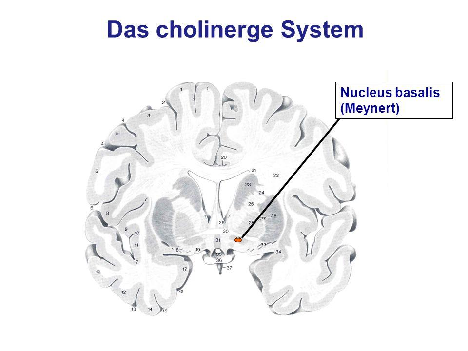 Nucleus basalis (Meynert) Das cholinerge System