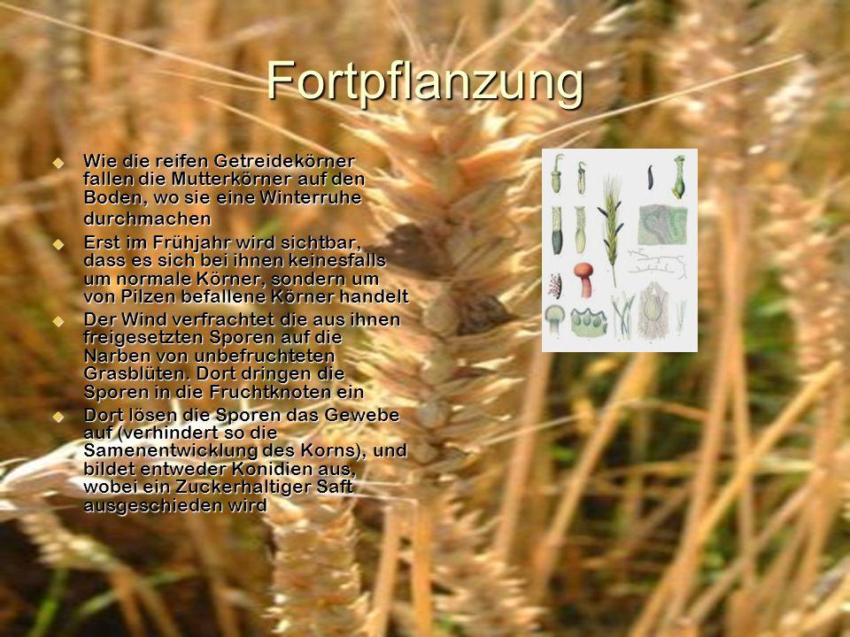 Fortpflanzung Wie die reifen Getreidekörner fallen die Mutterkörner auf den Boden, wo sie eine Winterruhe durchmachen Erst im Frühjahr wird sichtbar,